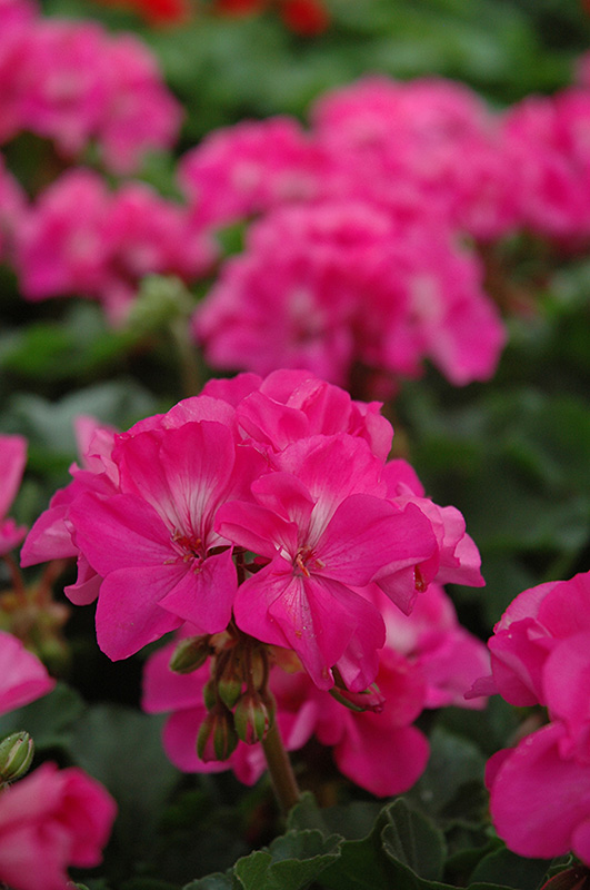 Fantasia Shocking Pink Geranium (Pelargonium 'Fantasia Shocking Pink') at Hicks Nurseries