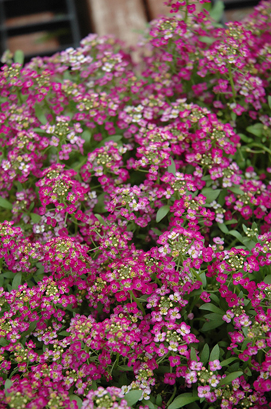 Wonderland Rose Alyssum Lobularia Maritima Wonderland