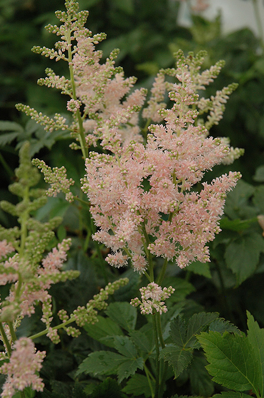 Apple Blossom Japanese Astilbe (Astilbe japonica 'Apple Blossom') at Hicks Nurseries
