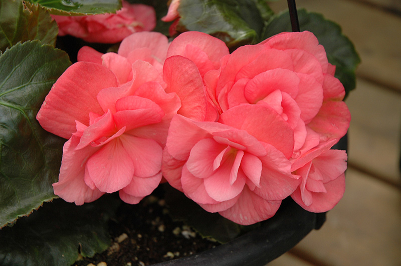 Dragone Pink Hope Begonia (Begonia 'Dragone Pink Hope') at Hicks Nurseries