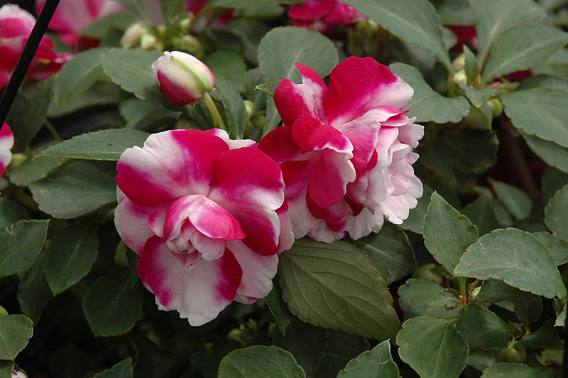 Fiesta Ole Purple Stripe Double Impatiens (Impatiens 'Fiesta Ole Purple Stripe') at Hicks Nurseries