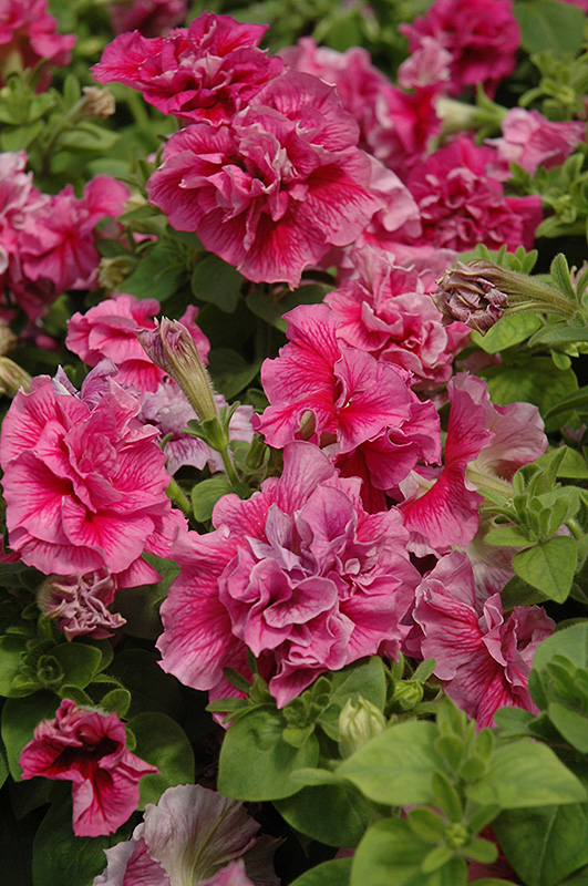 Madness Sheer Double Petunia (Petunia 'Madness Sheer Double') at Hicks Nurseries