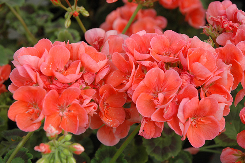 Sunrise Salmon Geranium Pelargonium Sunrise Salmon In