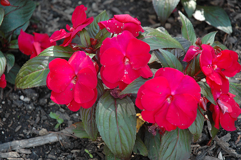 Accent Red Impatiens (Impatiens walleriana 'Accent Red') at Hicks Nurseries
