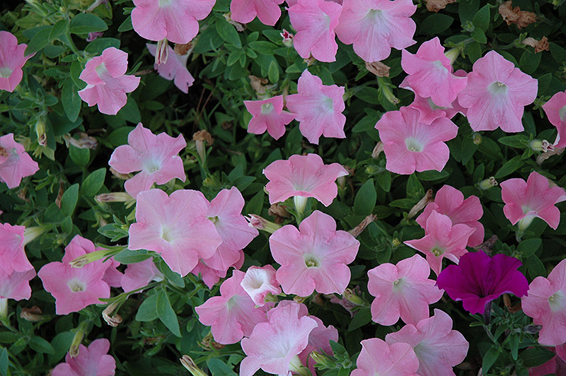 Easy Wave Shell Pink Petunia (Petunia 'Easy Wave Shell Pink') at Hicks Nurseries