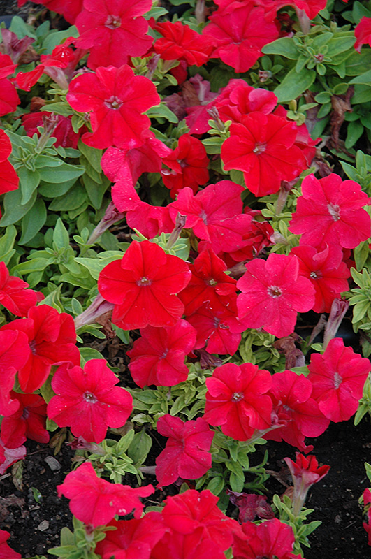Limbo Red Petunia (Petunia 'Limbo Red') at Hicks Nurseries