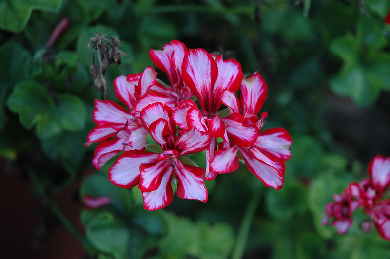 Royal Candy Cane Geranium Pelargonium Peltatum Royal