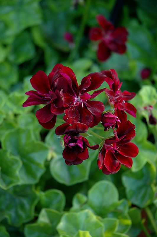 Royal Dark Burgundy Ivy Leaf Geranium Pelargonium