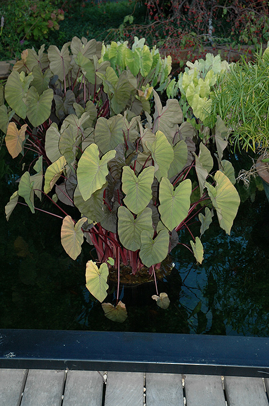 Royal Hawaiian Maui Magic Elephant Ear (Colocasia esculenta 'Maui Magic') at Hicks Nurseries