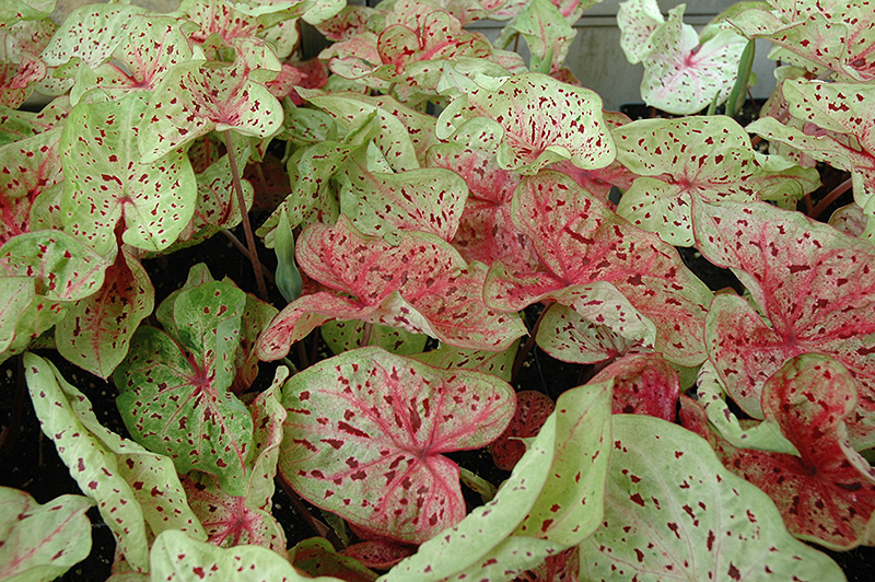 Miss Muffet Caladium (Caladium 'Miss Muffet') at Hicks Nurseries