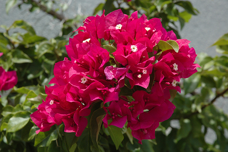 Torch Glow Bougainvillea Bougainvillea Torch Glow In