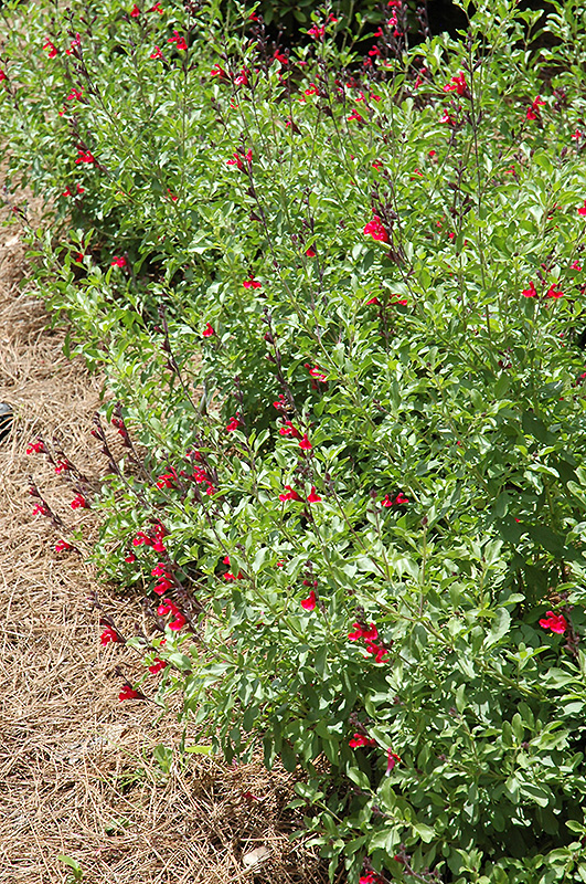 Furman's Red Texas Sage (Salvia greggii 'Furman's Red') at Hicks Nurseries