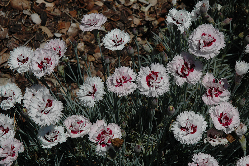 Silver Star Pinks (Dianthus 'Silver Star') at Hicks Nurseries