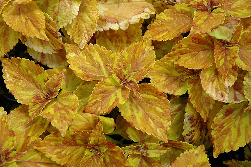 Freckles Coleus (Solenostemon scutellarioides 'Freckles') at Hicks Nurseries