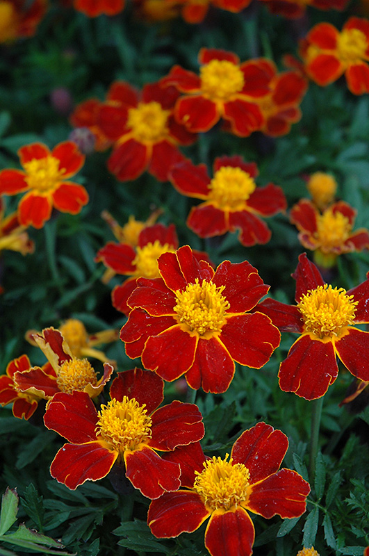 Disco Red Marigold (Tagetes patula 'Disco Red') at Hicks Nurseries