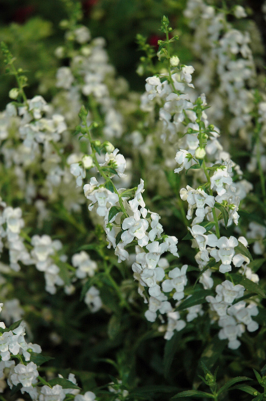 Sungelonia White Angelonia (Angelonia angustifolia 'Sungelonia White') at Hicks Nurseries