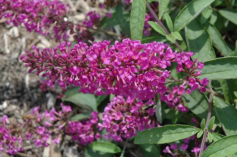 Flutterby Petite Tutti Fruitti Pink Butterfly Bush (Buddleia davidii 'Podaras 13') at Hicks Nurseries