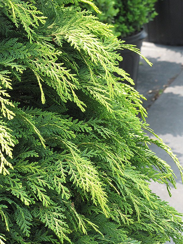 Golden Showers Lawson Falsecypress (Chamaecyparis lawsoniana 'Golden Showers') at Hicks Nurseries