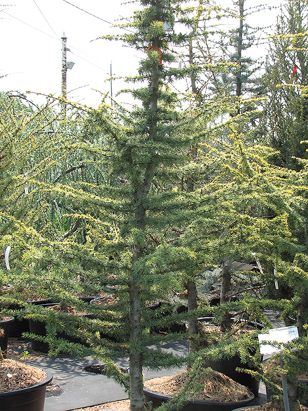 Golden Atlas Cedar (Cedrus atlantica 'Aurea') at Hicks Nurseries