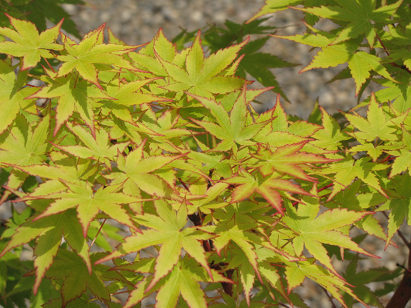 C Bark Anese Maple Acer Palmatum Sango Kaku At Hicks Nurseries