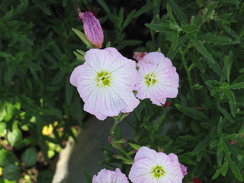 Evening Primrose (Oenothera speciosa) at Hicks Nurseries