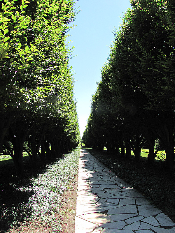 Pyramidal European Hornbeam (Carpinus betulus 'Fastigiata') at Hicks Nurseries