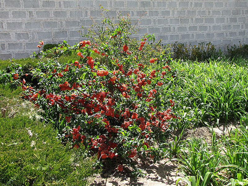 Cameo Flowering Quince (Chaenomeles speciosa 'Cameo') at Hicks Nurseries
