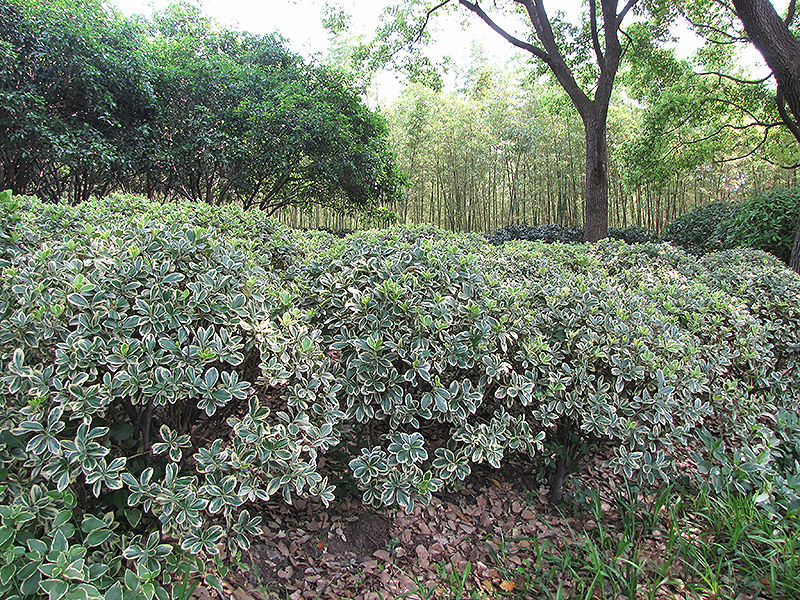Silver King Euonymus (Euonymus japonicus 'Silver King') at Hicks Nurseries