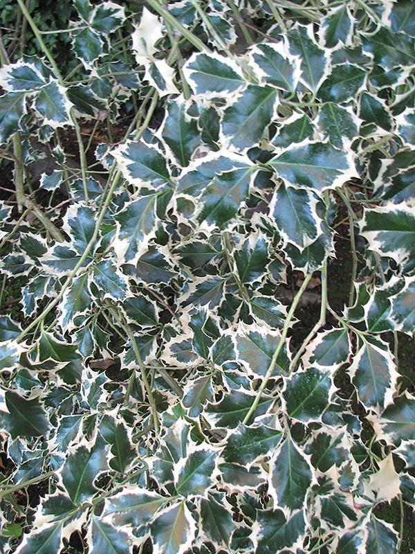 Variegated English Holly Ilex Aquifolium Variegata In
