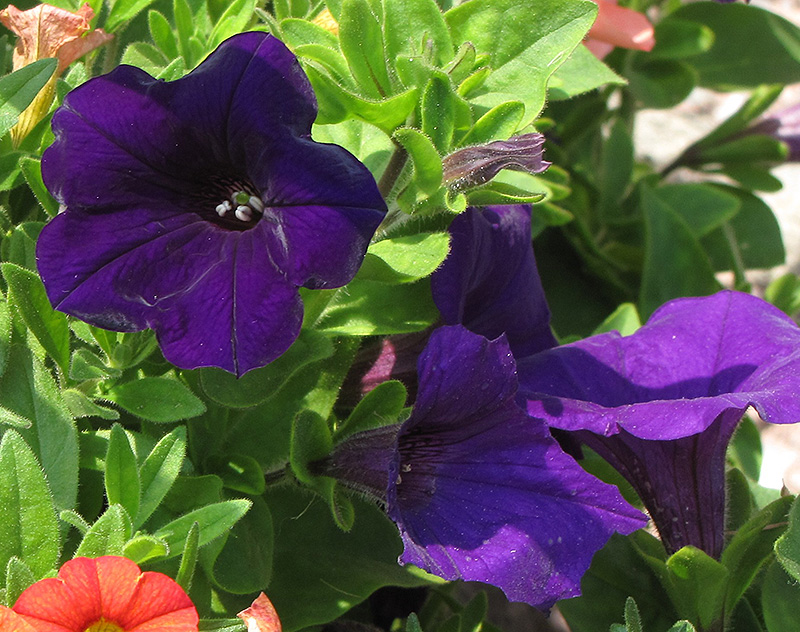 Dreams Midnight Petunia (Petunia 'Dreams Midnight') at Hicks Nurseries