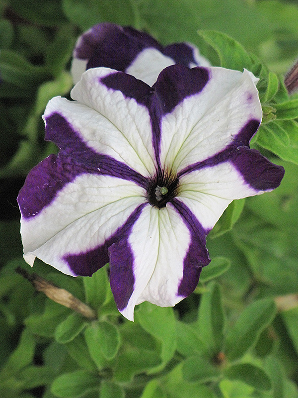 Ultra Blue Star Petunia (Petunia 'Ultra Blue Star') at Hicks Nurseries
