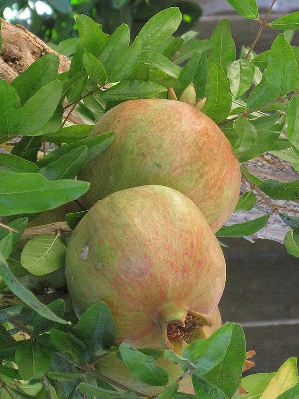 Wonderful Pomegranate Punica Granatum Wonderful In