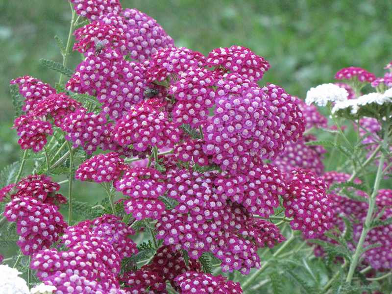 Cerise Queen Yarrow (Achillea millefolium 'Cerise Queen') at Hicks Nurseries