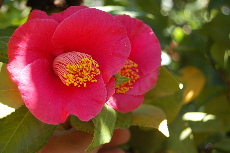 Japanese Camellia (Camellia japonica) at Hicks Nurseries