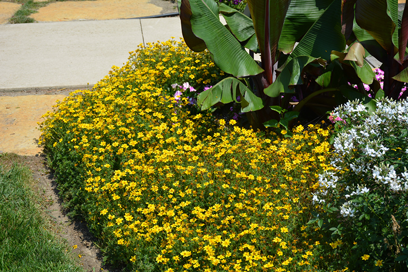 Goldilocks Rocks Bidens (Bidens ferulifolia 'Goldilocks Rocks') at Hicks Nurseries