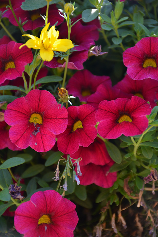 Superbells Cherry Red Calibrachoa (Calibrachoa 'Superbells Cherry Red') at Hicks Nurseries