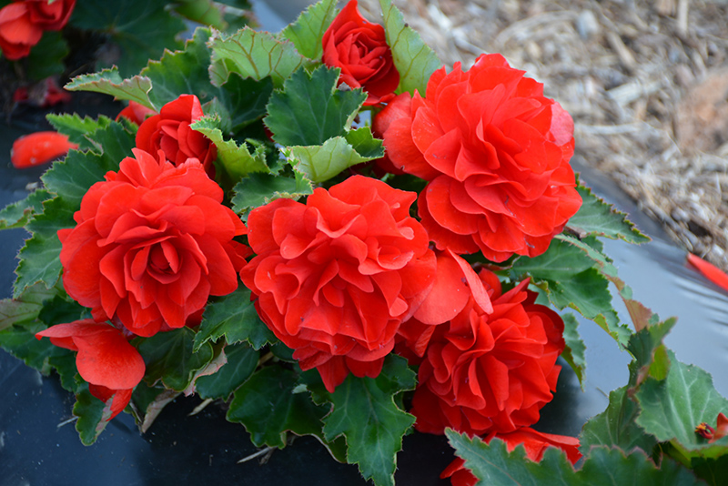 Nonstop Red Begonia (Begonia 'Nonstop Red') at Hicks Nurseries