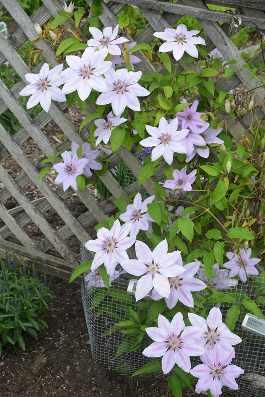Nelly Moser Clematis (Clematis 'Nelly Moser') at Hicks Nurseries