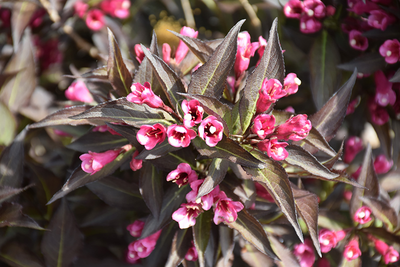 Midnight Wine Weigela (Weigela florida 'Elvera') at Hicks Nurseries