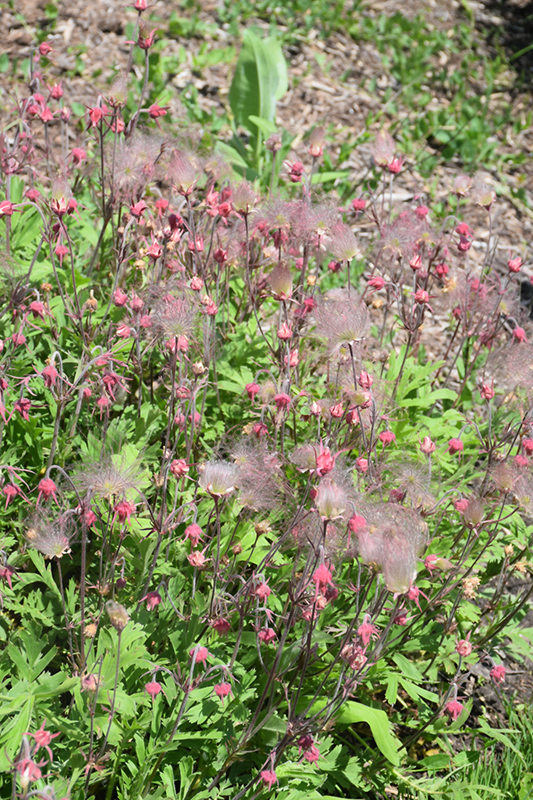 Prairie Smoke (Geum triflorum) at Hicks Nurseries