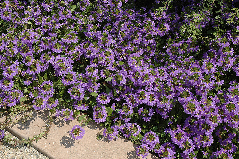 Blue Fan Fan Flower (Scaevola aemula 'Blue Fan') at Hicks Nurseries