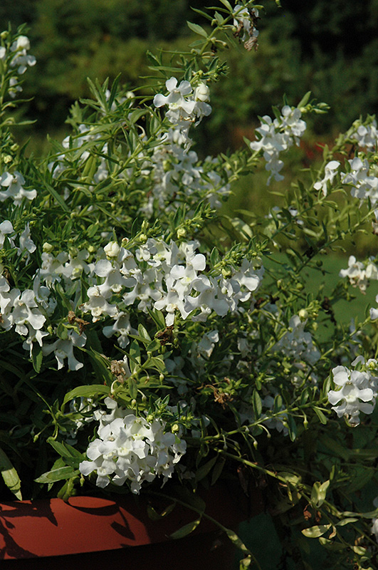 Carita Cascade White Angelonia (Angelonia angustifolia 'Carita Cascade White') at Hicks Nurseries