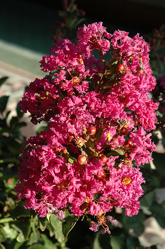 Coral Magic Crapemyrtle Lagerstroemia Coral Magic In