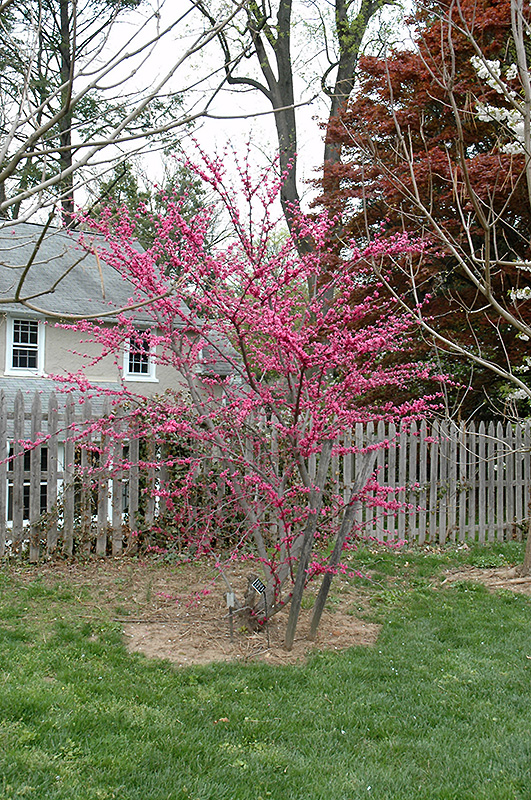 Appalachian Red Redbud Cercis Canadensis Appalachian Red