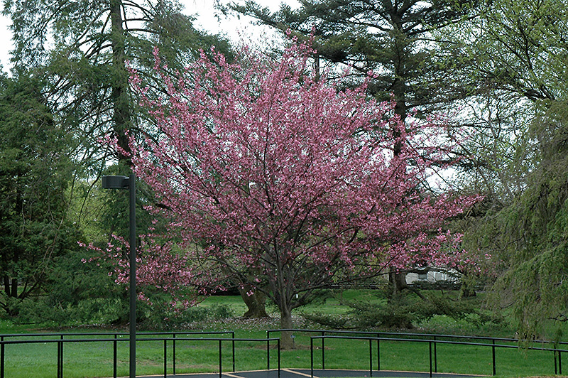 Royal Burgundy Flowering Cherry Prunus Serrulata Royal