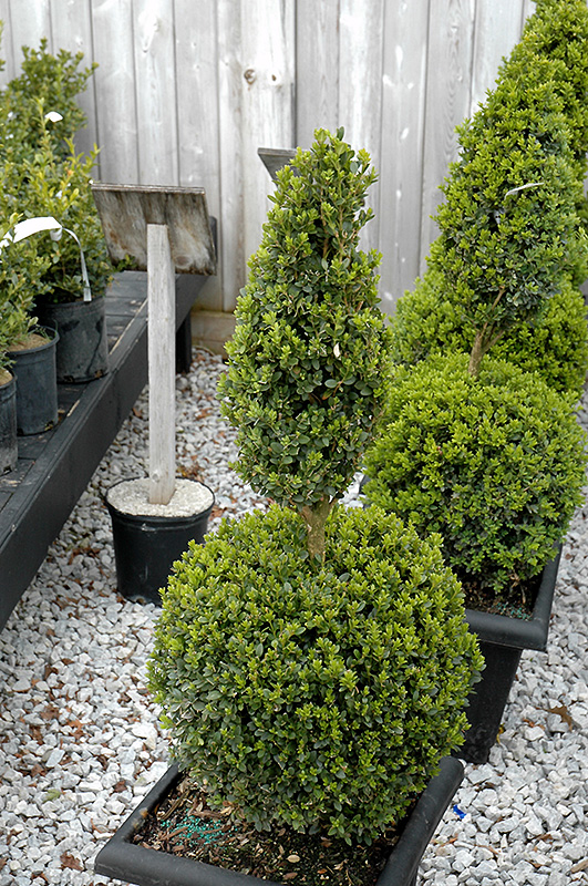 Green Mountain Boxwood Poodle Form Buxus Green