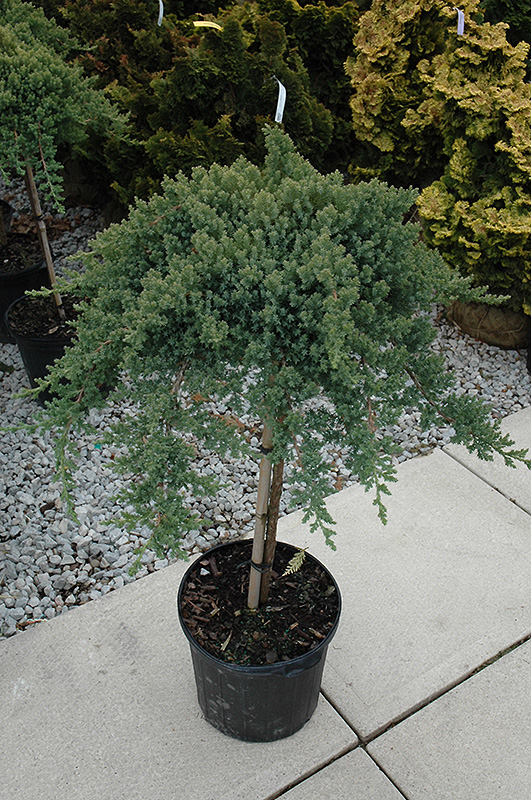 Dwarf Japanese Garden Juniper Tree Form Juniperus