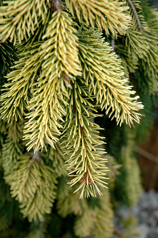 Gold Drift Norway Spruce Picea Abies Gold Drift In