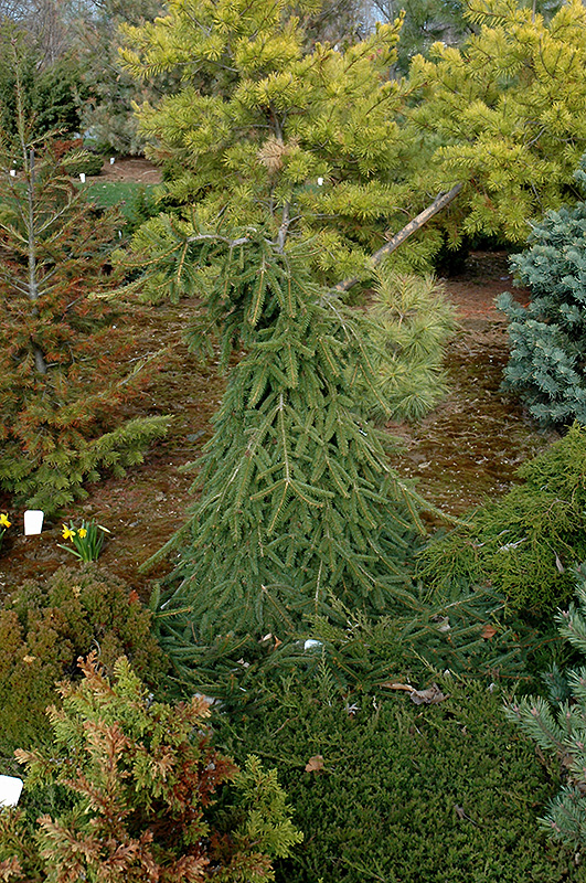 Farnsburg Norway Spruce (Picea abies 'Farnsburg') at Hicks Nurseries
