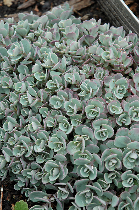 Japanese Stonecrop (Sedum cauticola) at Hicks Nurseries